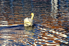graceful chaos (Jez Blake) Tags: colour pool reflections swan chaos lincolnshire lincoln ripples distortions brayford