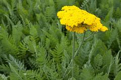 Achillea 'Sunbeam' (Melissa-Gale) Tags: flower yellow photography gold melissa gale mg bloom gail yarrow achillea sunbeam perennial gorman berard mg00187