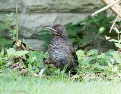 Blackbird fledgling (Jeff Derbys) Tags: blackbird turdusmerula fledgling