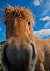 Nosy (Jen St. Louis) Tags: iceland icelandichorses horse horsephotography horseportrait petphotography petportrait jenstlouisphotography pawprints wwwjenstlouisphotographycom wwwpawprintsphotosca nikond750 nikon2470
