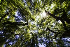 Willow Trees (Insomnious247) Tags: willowtrees insomnious247 coffeepleaze victoria victoriabc victoriabccanada vancouverislandbc