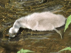 Cygnet (deannewildsmith) Tags: earthnaturelife staffordshire wolseleynaturecentre cygnet swan bird