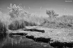 Crocodile (naturalturn) Tags: crocodile marsh wetland water river infrared blackwhite blackandwhite moremi moremigamereserve okavangodelta okavango delta botswana image:rating=5 image:id=204540