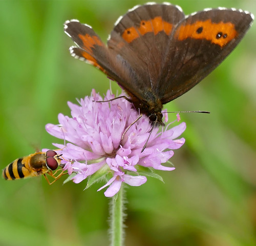 Large Ringlet (Erebia euryale ?) and Hoverfly (Epistrophe grossulariae) male