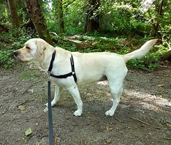 Gracie in the shady woods (walneylad) Tags: gracie dog canine pet puppy lab labrador labradorretriever cute summer july