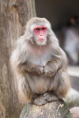 2017-07-02-14h48m10.BL7R2938 (A.J. Haverkamp) Tags: canonef100400mmf4556lisiiusmlens amsterdam noordholland netherlands zoo dierentuin httpwwwartisnl artis thenetherlands japansemakaak japanesemacaque nl