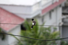 IMG_7819 (uday khatri photography) Tags: pigeon bulbul indian bird udaykhatri amazing udaykhatriphotography art abstract nature wildlife india water beautiful animal udaykhatriclick evening love creative drinking