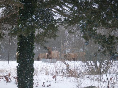 Elk in the Snow, rural kansas