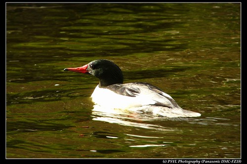 Male Common Merganser (Mergus merganser)