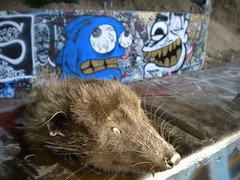 Physh Solur Gold Possum Head (Dis Illegal Mon) Tags: graffiti traintracks richmond fez phish rps hercules pinole solur physh