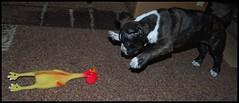 DSC_0754 (Bargais) Tags: dog puppy pups puppies terrier american doggies staffordshire suns amstaff stafs kucēns terjers stafiņš amstafs