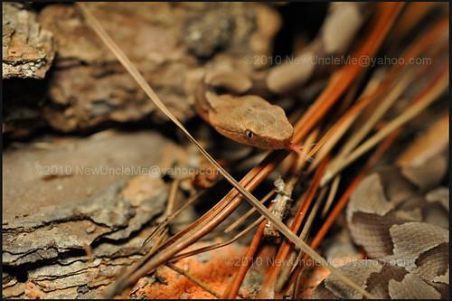 Baby Copperheads (Agkistrodon contortix)