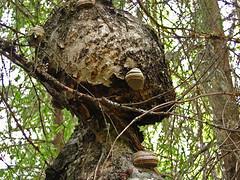 Koivutar (Janne Maikkula) Tags: nature koivu branches figure birch kesä bough luonto pahka oksa profiili hahmo oksat tuohi kääpä ikithule
