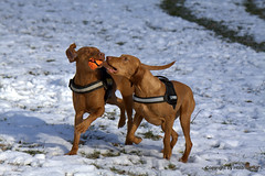IMG_3867 (holdrioo_ch) Tags: dog dogs animal animals outside tiere vizsla hund hunde pelagia tier anuschka kurzhaar vizslas dogsinaction mutterundtochter vorstehhund magyarvizsla