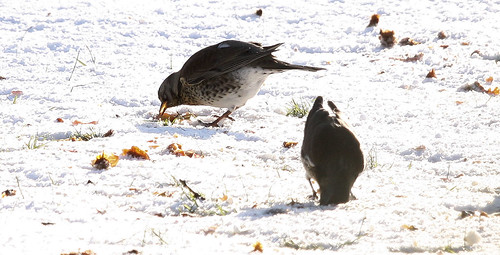 Fieldfare and Apples 2