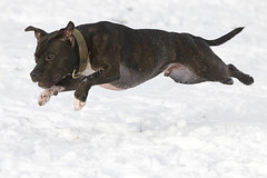 Snow Fun 11 (Wayner Cullinaner) Tags: harvey staffordshirebullterrier staffy staffies waynercphotography