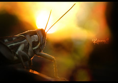 The Grasshopper King | Day 045 (cishore) Tags: sunset sun india canon king boredom grasshopper hyderabad cishore kishore tombs qutub lionking islamic the architechure shahi hws nagarigari xti 400d kishorencom peddu photowalk16 teamhws