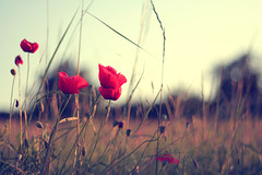 Flowers in december (dhammza) Tags: red flower nature field bokeh song poppy provence provenza amapola mazzystar cancin flowersindecember