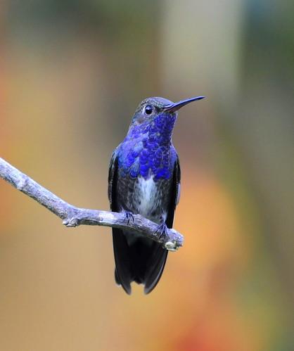 フリー画像| 動物写真| 鳥類| 野鳥| ハチドリ/ハミングバード| シロスジエメラルドハチドリ|      フリー素材|