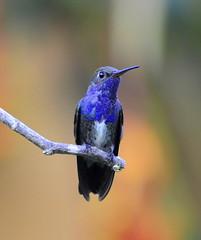 [フリー画像] [動物写真] [鳥類] [野鳥] [ハチドリ/ハミングバード] [シロスジエメラルドハチドリ]      [フリー素材]