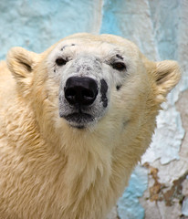 Polar Bear Portrait (aeschylus18917) Tags: bear nature japan zoo tokyo nikon wildlife polarbear   ursus 80400mm ursusmaritimus uenozoo nkon ursidae carnivora 80400mmf4556dvr thalarctosmaritimus  d700 80400mmf4556vr onshiuenodbutsuen nikond700 danielruyle aeschylus18917 danruyle druyle