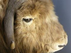 musk ox (noj.johnson) Tags: tring nhm
