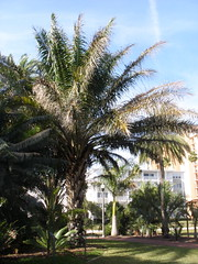 Elaeis guineensis (tranquilometro) Tags: park winter tree saint st tampa bay frozen big frost january petersburg palm foliage freeze damage tropical damaged fried aboretum 2010 gizella kopsick vinnoy