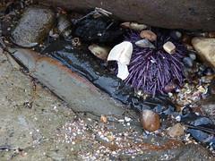 DSC00610 (OtterFreak) Tags: seaurchin abalonecove ranchopalosverdes abalonecoveshorelinepark