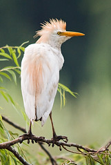 Cattle Egret (Marc_Scott-Parkin) Tags: cattleegret bubulcusibis