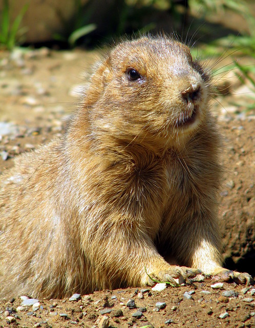 Prarie Dog at the Knoxville Zoo