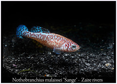 Nothobranchius malaissei (Bruno Cortada) Tags: malawi marino mbunas cclidos sudafricanos tanganyica