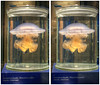 Jellyfish 3D (stereo cross-view) (rawshooter72) Tags: photo stereoscopic 3d crosseye jellyfish view cross stereo maker hdr spm crossview xview stereophotomaker