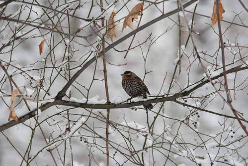 Bird on Snowy Branches