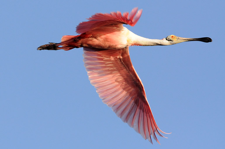 web_spoonbillflying_merritt_0324_2531