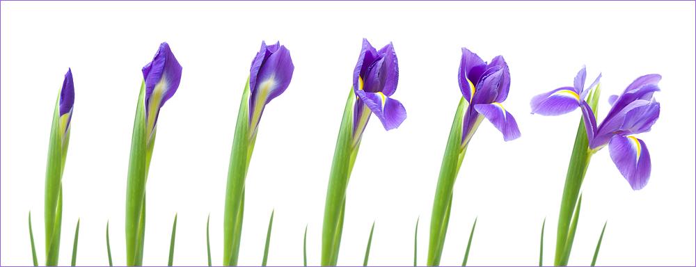 opening iris