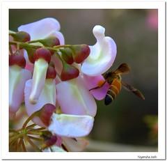 Attraction (Yogendra174) Tags: pink trees wild india color macro nature canon insect colorful blossom earth hill bee automn maharashtra naturalbeauty honeybee pune mothernature joshi natureatitsbest marathi yogendra canonrebelxs canon1000d