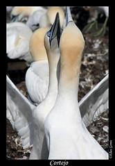 Cortejo (Elías Gomis) Tags: inglaterra sea england naturaleza nature birds canon scotland gulls aves escocia puffin fulmar alcatraz puffins dunbar shag farne northberwick berwick gaviotas farneislands holyisland eider seabirds gannet bassrock cormoran greyseal seahouses kittiwake arctictern puffinus frailecillo frailecillos charranartico focagris josebruiz eliasgomis islasfarne alfonsolario scottishseabirdscenter gaviotatridactila