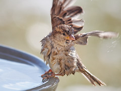 Where did I put that hair dryer? (Tony Tanoury) Tags: wild bird nature animal closeup fauna bill birdbath michigan wildlife ngc beak feather sparrow perch housesparrow passerdomesticus ornithology birdwatching avian supershot femalehousesparrow