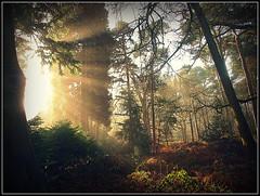 Sunshine in Burton woods (Michael Gaddas) Tags: mist fog sunrise woods village cheshire rays burton wirral