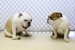Wait, Let Me Get This Gum Out Of My Mouth (Back in the Pack) Tags: dog calgary dogs fence puppy waiting sitting maggie bulldog chewing 5d englishbulldog talking chatting bulldogs ozzy dogdaycare 2470mmf28l 5dmarkii wwwbackinthepackca eos5dmarkii albertabarks