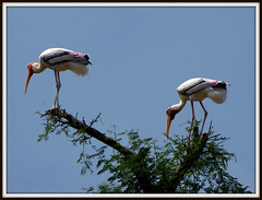 Painted Storks (Photonomist) Tags: india birds canon wildlife karnataka stork paintedstork kokkarebellur canonsx10is madhu459