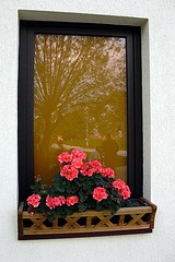 Window with geraniums. (oshita946) Tags: trees people window nature colors reflections geraniums distillery
