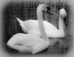 Love Is...Just Being Together. (Chris H#) Tags: winter bw white water photoshop blackwhite pair northamptonshire valentine swans ripples processed valentinesday lightroom s3000 loveis february14th summerleysnaturereserve nikond5000 justbeingtogether theswaninthebackgroundlooksalittlecoy
