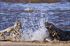 frolicking in the surf (Black Cat Photos) Tags: uk sea england beach blackcat photography photo movement europe surf waves action performance move m seals perform splash frolicking donnanook blackcatphotography blackcatphotos