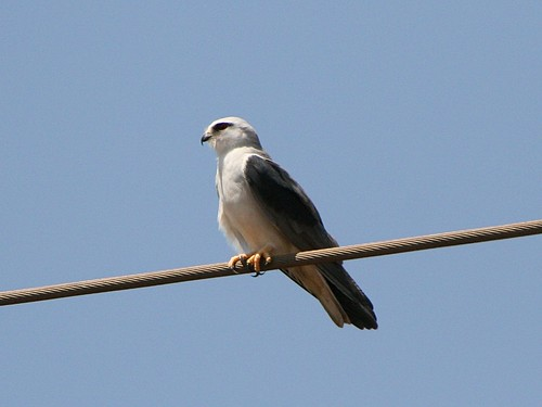 BlackShoulderedKite