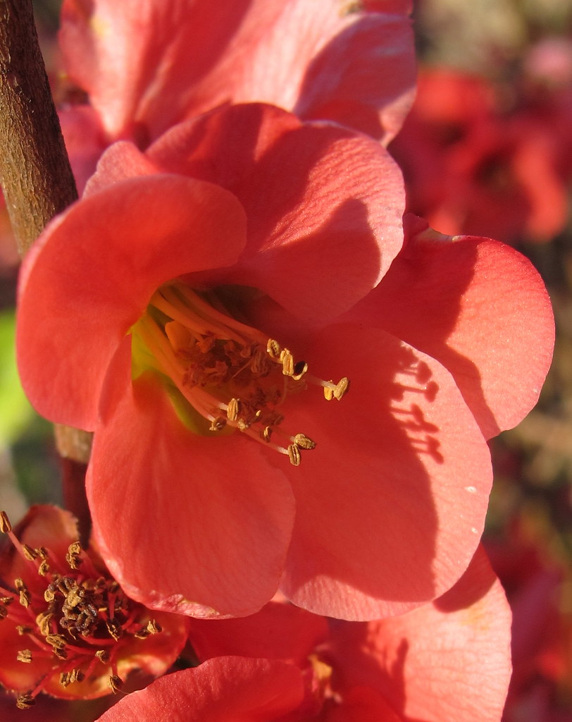 Flowering Quince, Austin, Texas, USA.  Spring is coming!
