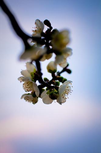 Ume japanese apricot