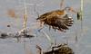 Water Rail walking on air (Andrew Haynes Wildlife Images) Tags: bird nature wildlife warwickshire avian waterrail brandonmarsh canon7d ajh2008