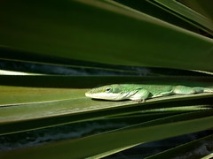 Sliver of Sunlight (fantommst) Tags: usa sunlight green texas hero winner anole layers agave lizzard pflugerville sunning flickrchallengegroup flickrchallengewinner thechallengefactory storybookwinner trueblueaussieandkiwichallengegroup