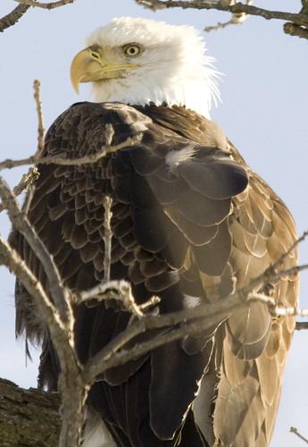 bald eagle_12